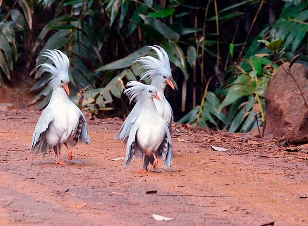 Основной пищей для птицы кагу являются мелкие насекомые, личинки и моллюски