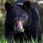 Барибал (черный медведь)