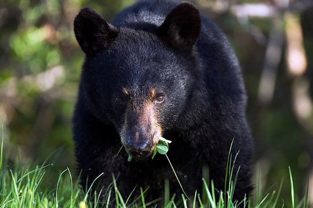 Черный медведь по большей части всеядное животное