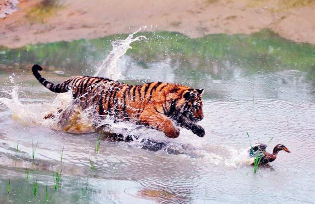 Бенгальские тигры, как правило охотятся на крупных животных, но и не отказываются от мелкой дичи