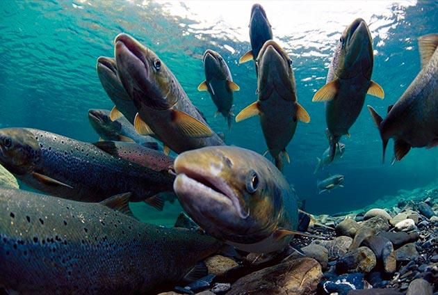 Мелкая горбуша горбуша питается планктоном, а взрослые рыбы употребляют безпозвоночных и более мелкую рыбешку