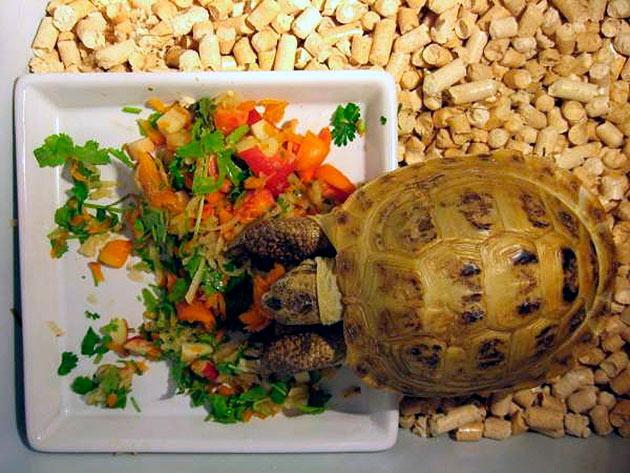 Мускусные черепахи являются всеядными и могу съесть практически все что дадите
