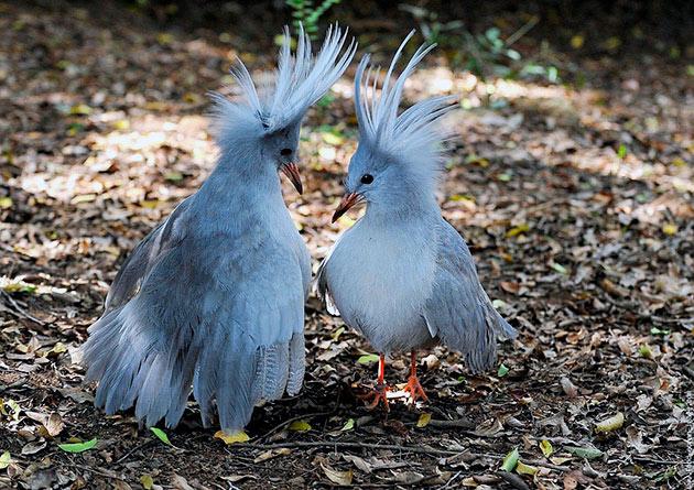 Потомство у птицы кагу появляется после месячного высиживания яйца