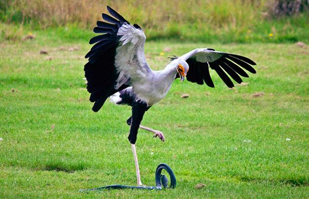 Рацион птицы секретаря очень разнообразно и включает, как растительную, так и животную пишу