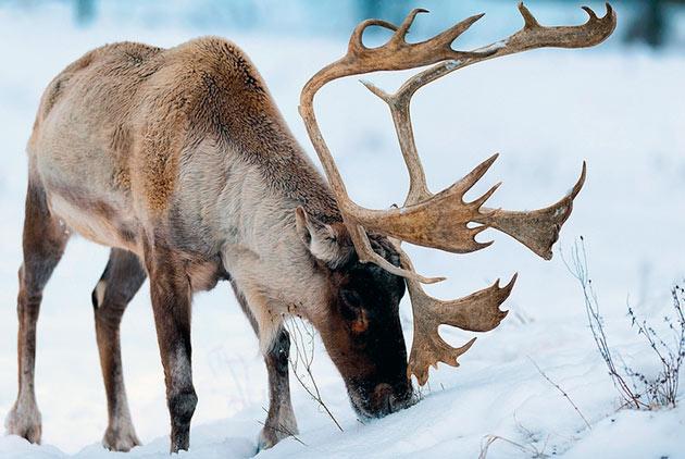 Основной рацион питания северных оленей - растительность, но иногда они лакомятся ягодами и грибами