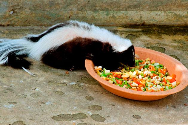 Скунсы могу питаться как растительной, так и животной пищей