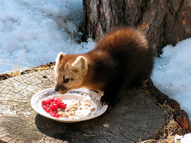 Соболь питается как растительной, так и животной пищей