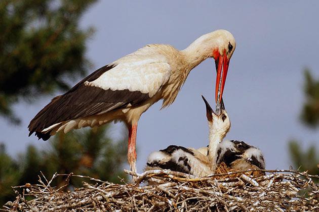 Самка гонгалы откладывает от 2 до 6 яиц за раз
