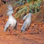 Птица кагу