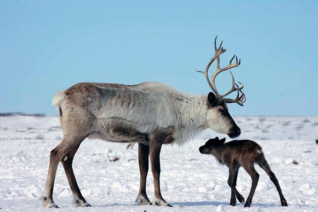 Из-за браконьерства и неконтролируемой охоты некоторые виды северных оленей занесены в красную книгу