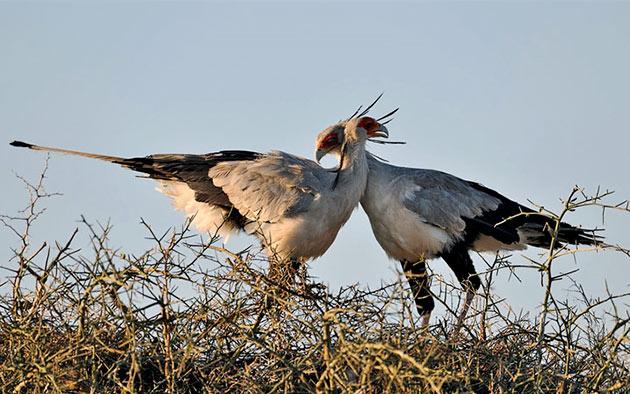 На свет у птиц секретарей появляется не более трех птенцов