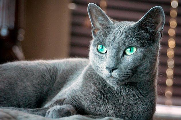 Рейтинг самых дорогих пород кошек: Русская голубая