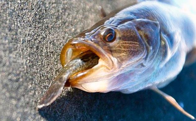 Ротаны относятся водным хищникам и рацион у них соответствующий