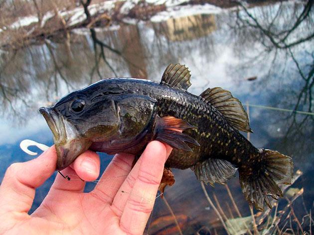 Численность ротана находится на высоком уровне, так как рыбы могут вытеснять другие виды