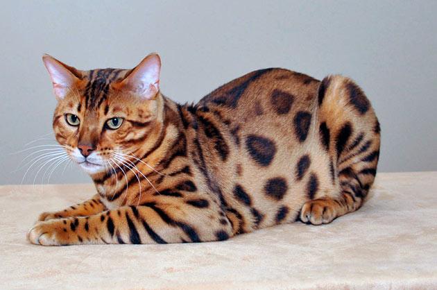 Рейтинг самых дорогих пород кошек: Сафари