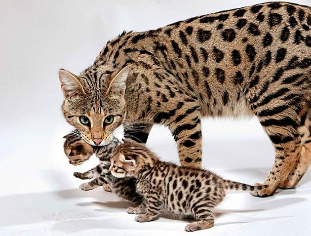 Рейтинг самых дорогих пород кошек: Саванна