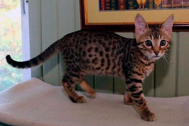Рейтинг самых дорогих пород кошек: Серенгети