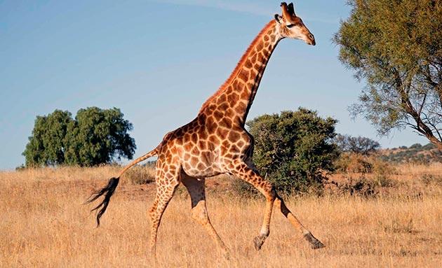 Жираф — это символ Африки