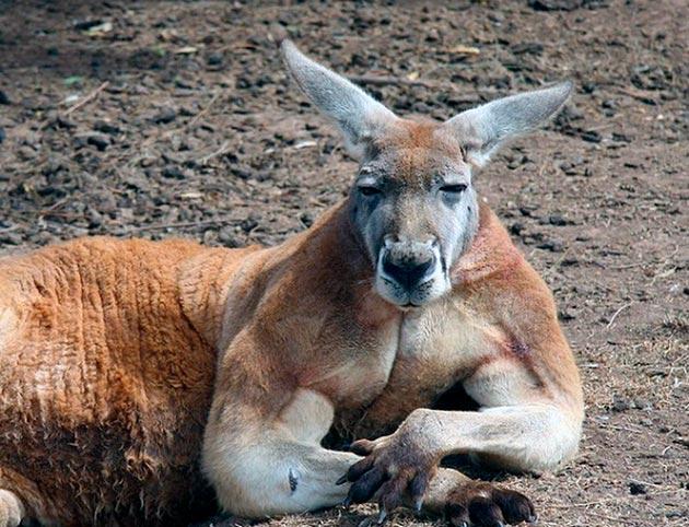 В дикой природе кенгуру живут в пределах десяти лет, плюс / минус несколько лет