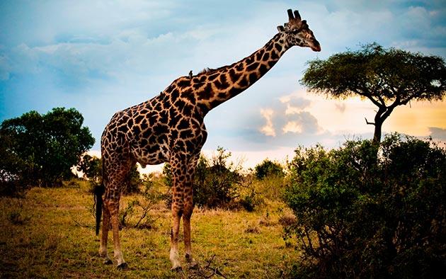 В естественных условиях жираф способен дожить до 35 лет
