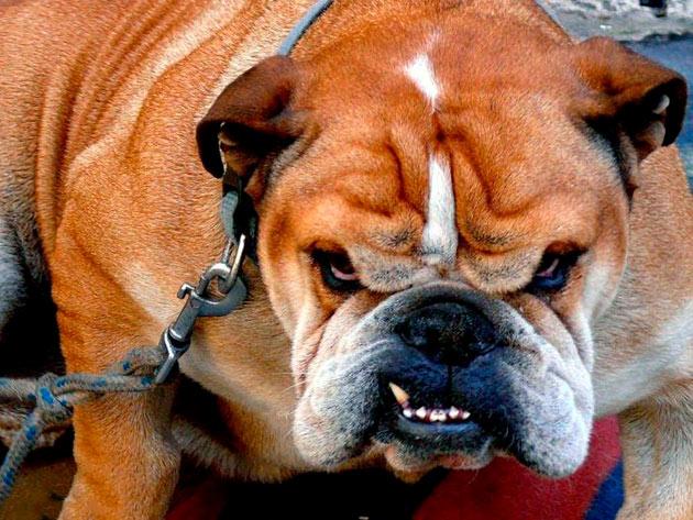 Что делать, если собака стала агрессивной