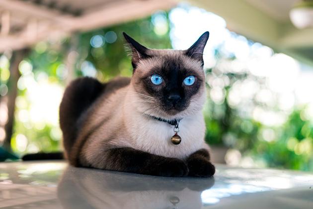 Уход за тайской кошки не будет проблематичен и не потребует приобретение дорогостоящих средств
