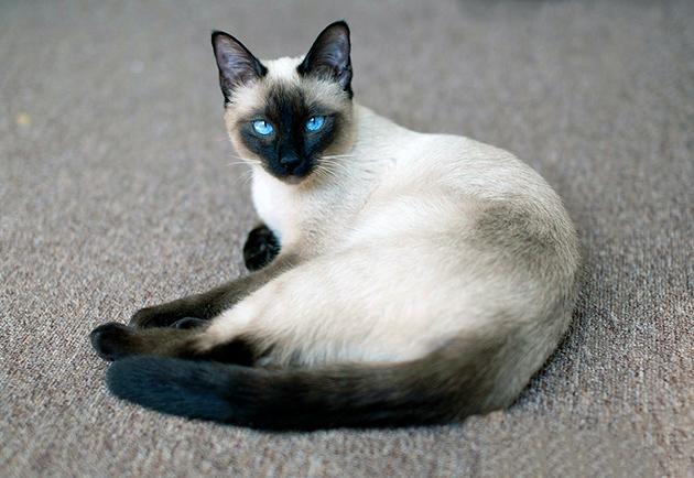 Долголетию тайской кошки могут позавидовать другие породы, так как она может дожить до 18 лет