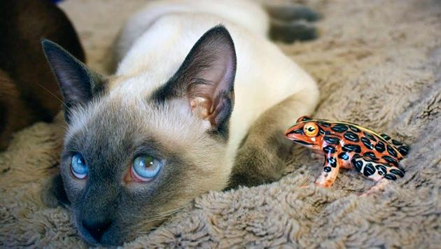 К воспитанию тайской кошки нужно отнестись ответственно, так как это очень активная кошка