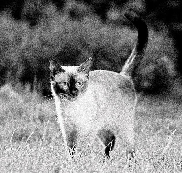 Породы кошек: Тайская кошка