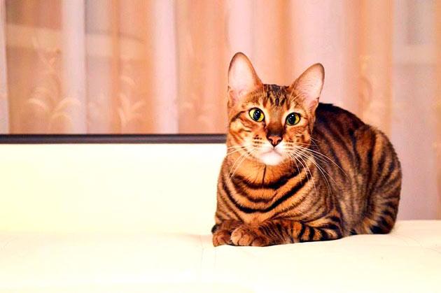 Рейтинг самых дорогих пород кошек: Тойгер