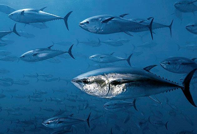 На сегодняшний день многие виды тунца находятся под охранной из-за малой численности