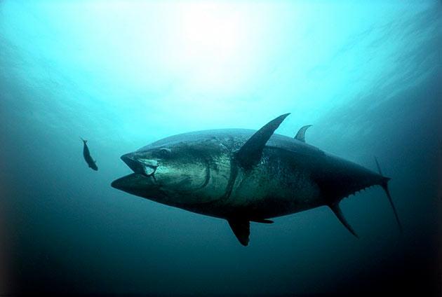 Тунцы, особенно самые крупные едят практически все