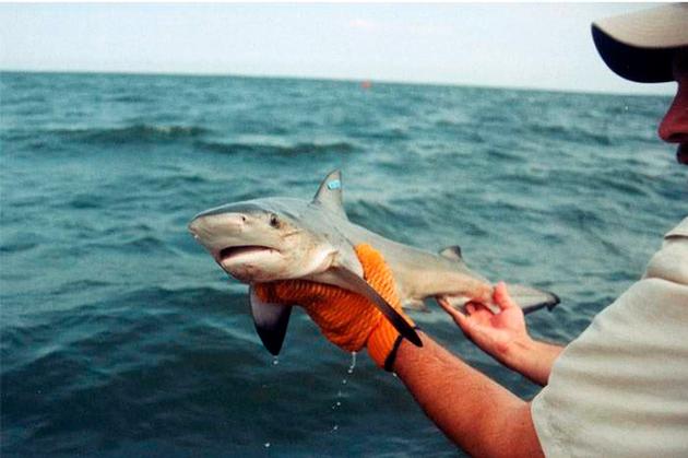 Тупорылый акулы начинают размножатся в конце лета, начале осени
