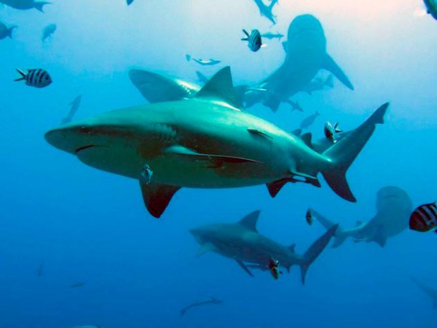 Так как тупорылая акула относиться к промысловых, то её популяция неуклонно уменьшается