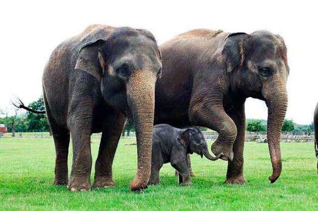 Вес индийского слона может достигать до 5.5 тонн