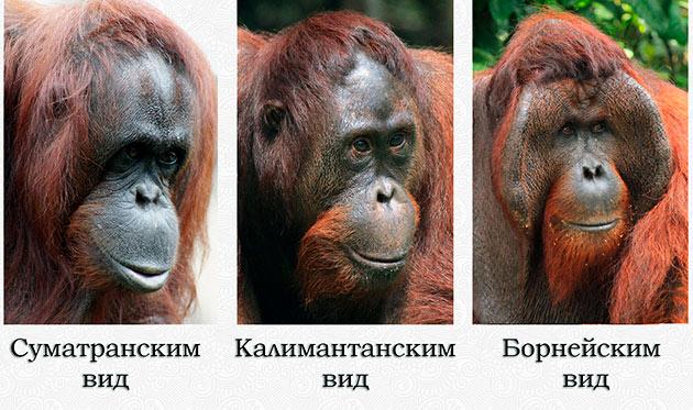 Самыми распространенными на планете считаются 3 вида орангутаны