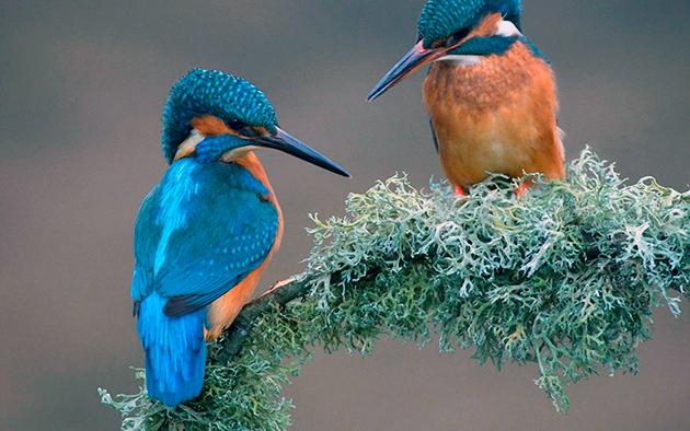 По данным международного союза орнитологов на сегодняшний день зарегистрировано 5 видов зимородок