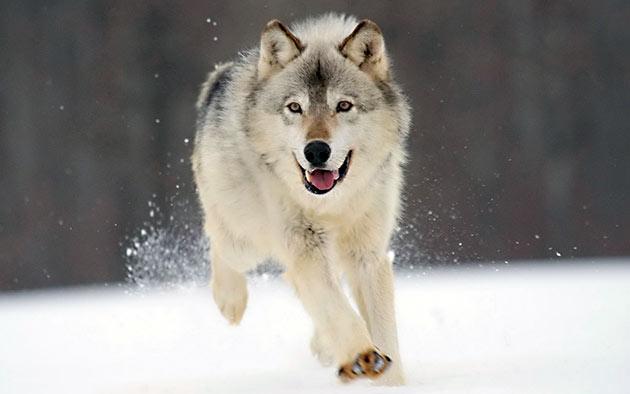 Естественные враги северного оленя — волки