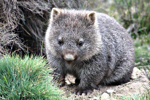 В дикой природе вомбаты в дикой природе живут в среднем 15 лет
