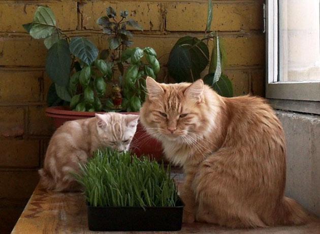 Если вы не уверены какую травку любит ваша кошка — можете посадить несколько кормов