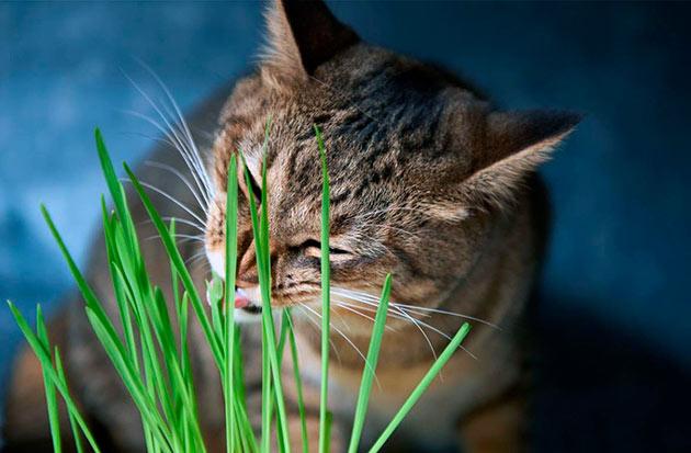 Вкусовые предпочтения кошки отдают злаковым культурам
