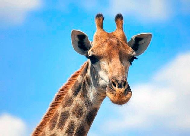 Жираф (Giraffa camelopardalis)