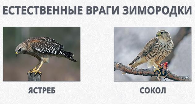 Основными природными врагами зимородки, являются: сокол и ястреб