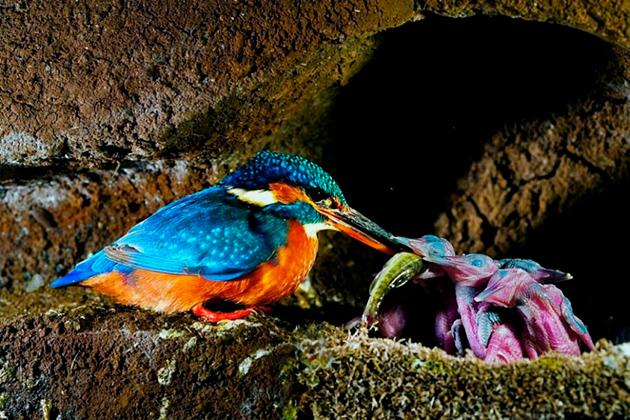 Вымирание зимородкам, на данный момент не грозит