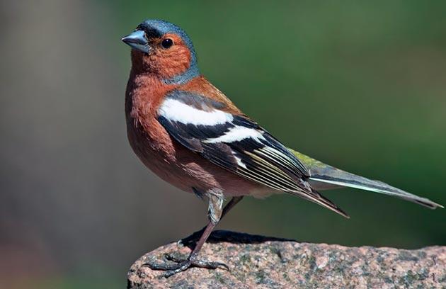 Главным фактором лимитирующим популяцию зябликов — отсутствие мест для гнездовий
