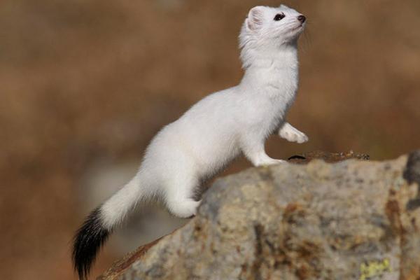 Белый окрас шерсти горностая