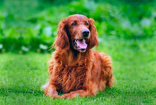 Собака-компаньон — Английский или ирландский сеттер