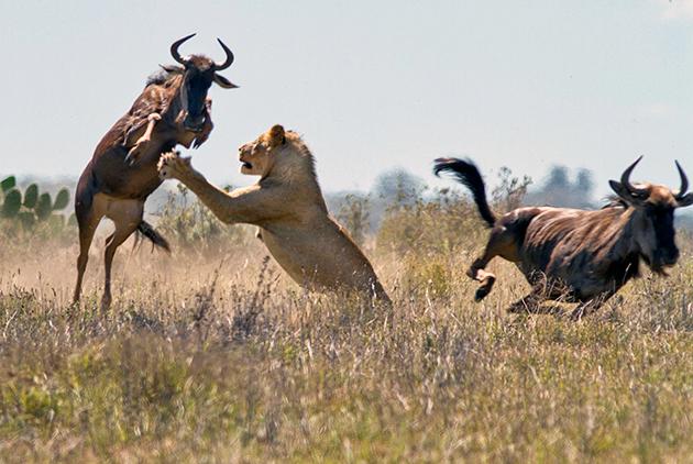 Крупные хищники основная опасность для антилоп Гну