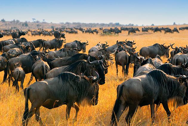 В 19 веке велось массовое уничтожение антилопы Гну, но в 20 веке истребление удалось минимизировать и сохранить популяцию данного вида