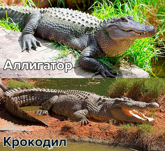 Крокодила можно отличить от аллигатора по строению пасти и зубов